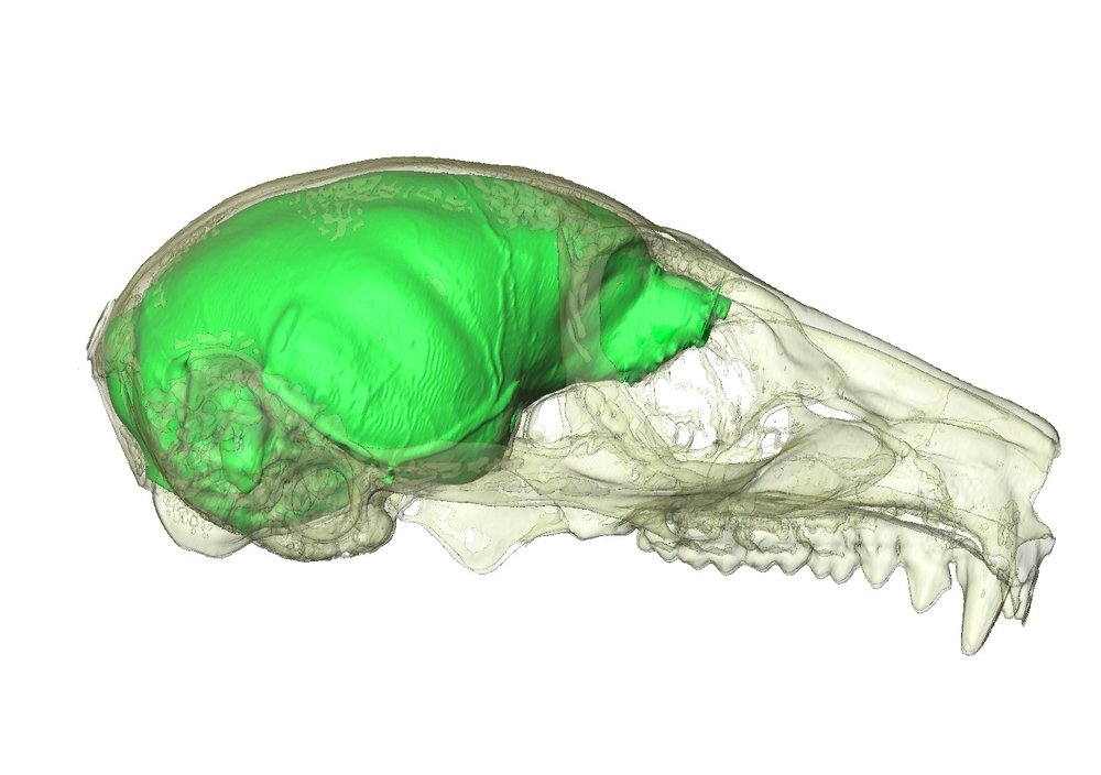 mouse lemur cranium and associated virtual endocast