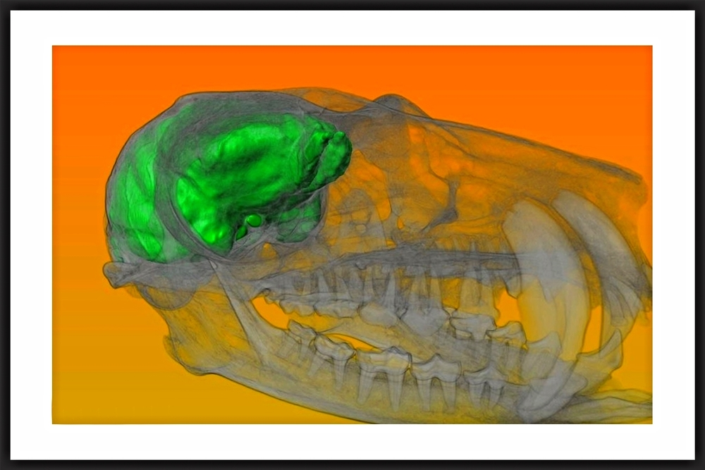lemur skull and associated virtual endocast