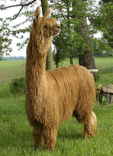 What a magnificent alpaca!