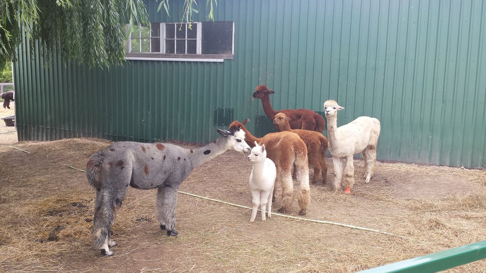 A visit to Beneath The Sun Alpacas to see all the new crias as well as my own 2 alpacas was one of the highlights of my Summer....they really make me smile:)