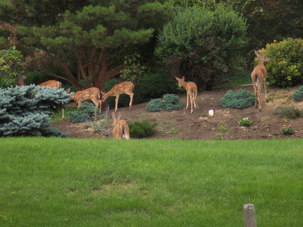 A small group of deer can destroy your yard in a matter of hours. Keep the deer out with Deer Scram powder. www.deerscram.com