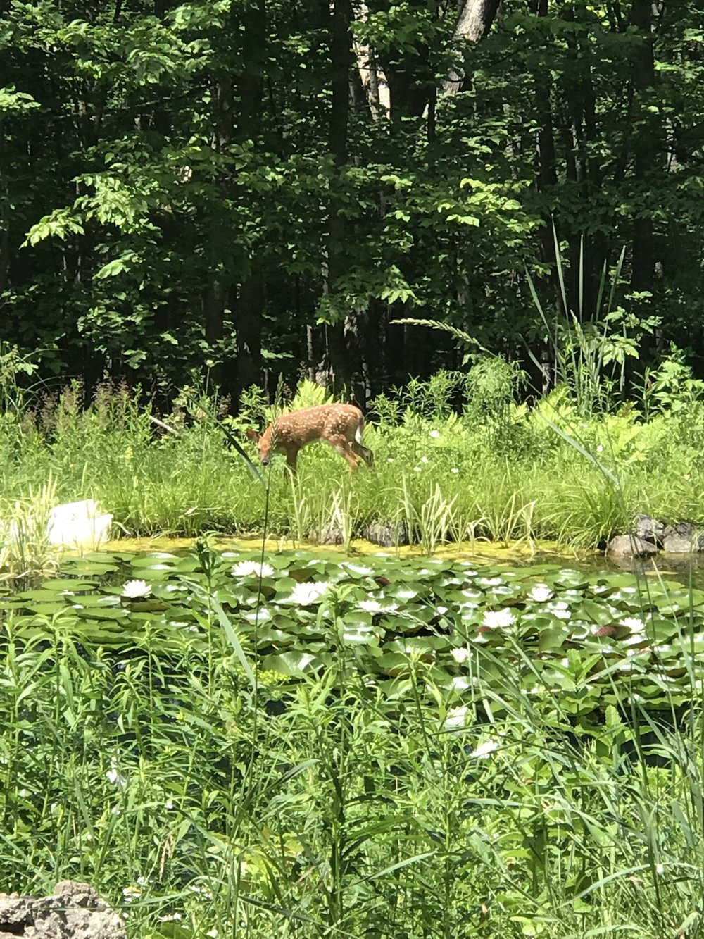 Keeping the natural watershed is important to all of us, even the deer!