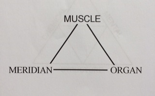 musclemeridianorgan.jpg