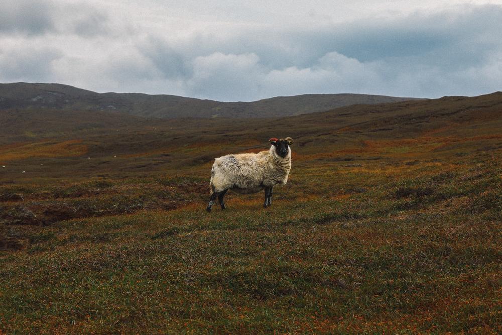 Portrait of a Northern Ireland Sheep