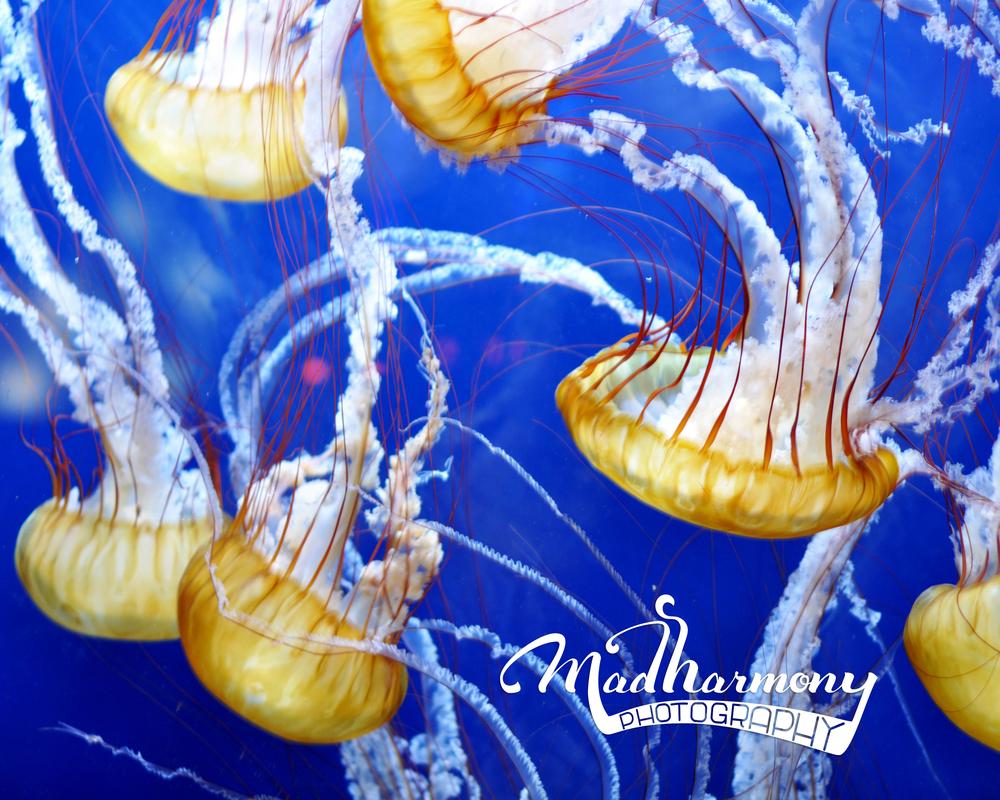 Jellies / Aquarium of the Bay, Pier 39 / February 2014