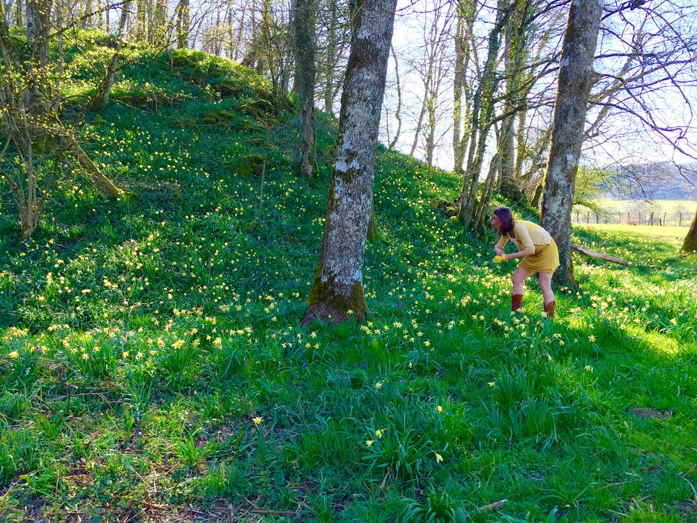 Picking daffodils in the oak meadows of the Jura.