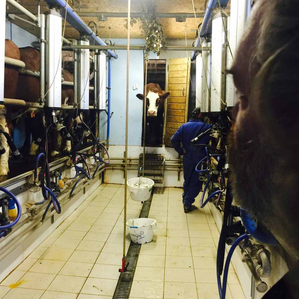 Doing the evening milking of the Abbondance cows for the production of Beaufort cheese.