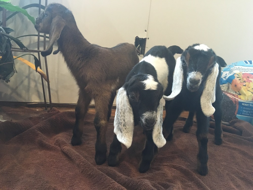 Lexus's triplet doe kids. The chocolate kid and the belted kid are now dubbed Edna and Ada and will remain on the farm.