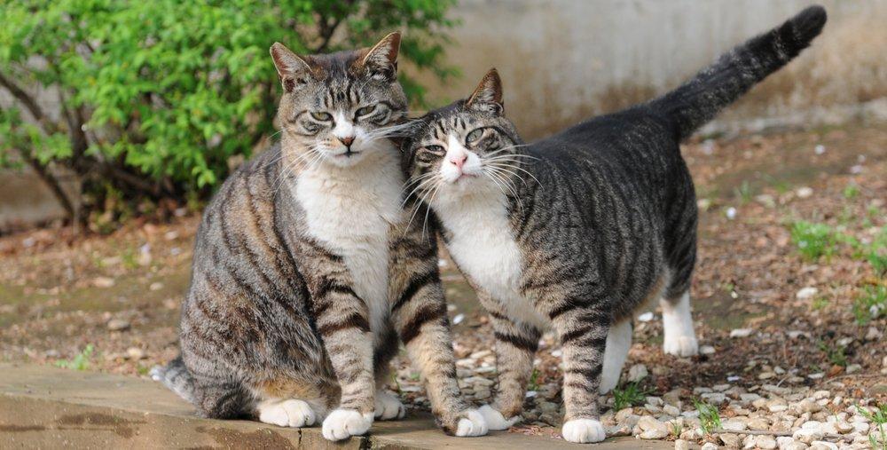 Mackerel_tabby_cat_pair_tipped.jpg