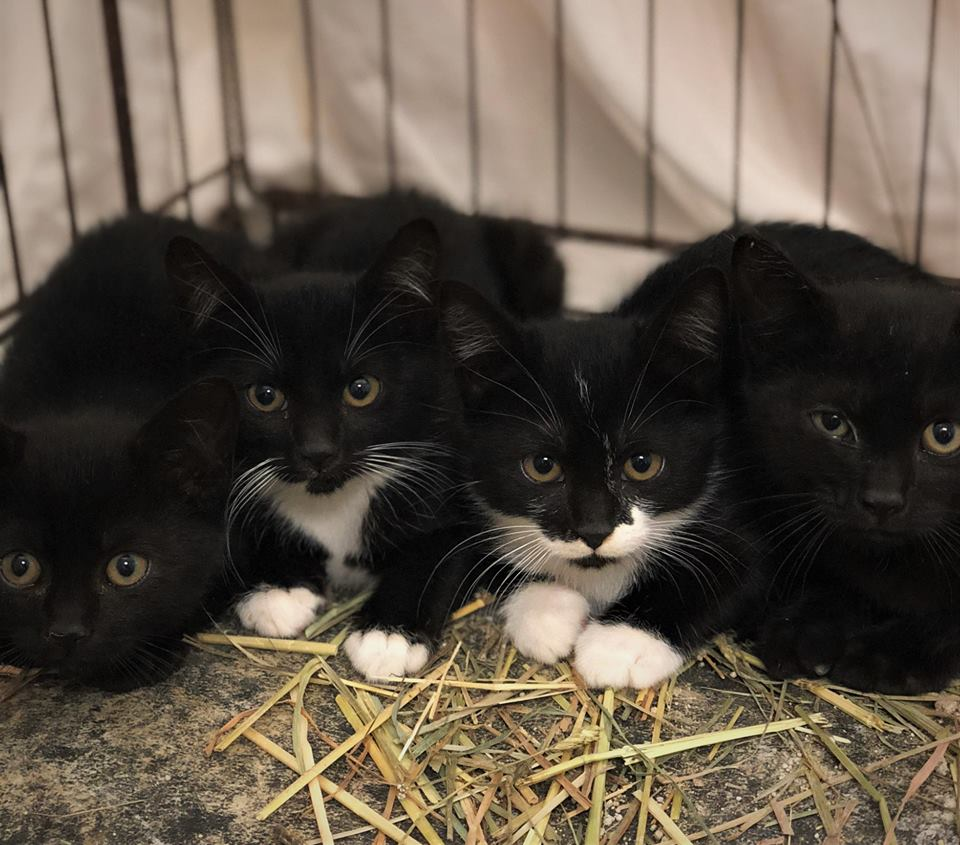 Meet our Cats of the Day from La Center, WA. These four little kittens and their mama are cared for by Jamie. Jamie noticed this mama kitty sniffing around her barn one day. She looked very hungry so Jamie decided to put food out for her. The mama cat scarfed down the food and Jamie knew she probably wasn't being fed elsewhere. After feeding the mama cat regularly, Jamie was suprised to find the cat was actually pregnant! Today FCCO was able to spay/neuter and vaccinate mama kitty and all four kittens! Purrs of thanks to Jamie for caring for feral cats!