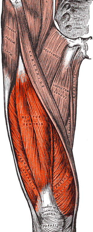 Muscle Of The Month Quadriceps Spears Strong