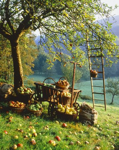 An apple basket harvest