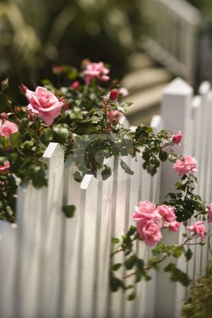 WOW… an Ivy Picket Fence…