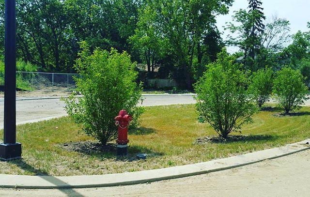 Elysian Way Rain Garden Trees #elysianway #homesbyinsignia #deerfield #realestatedevelopment #evenmoretrees #vanzelst