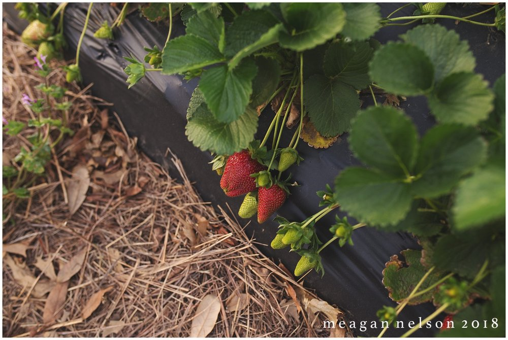 strawberry_patch_session_fort_worth_photographer01.jpg