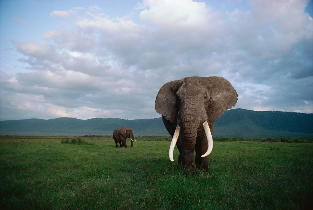 Elephant Cooperation -   Saving Africa's Elephants