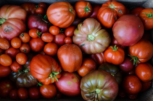 tomatoes 2016-5.jpg