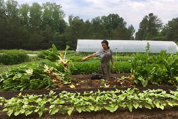 V clearing chard, action shot.jpg