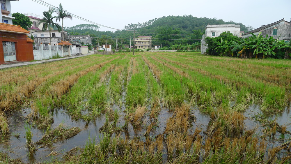 Rice paddies at the entrance of Michelle's maternal grandfather's village, Saam Baat, in Toisan