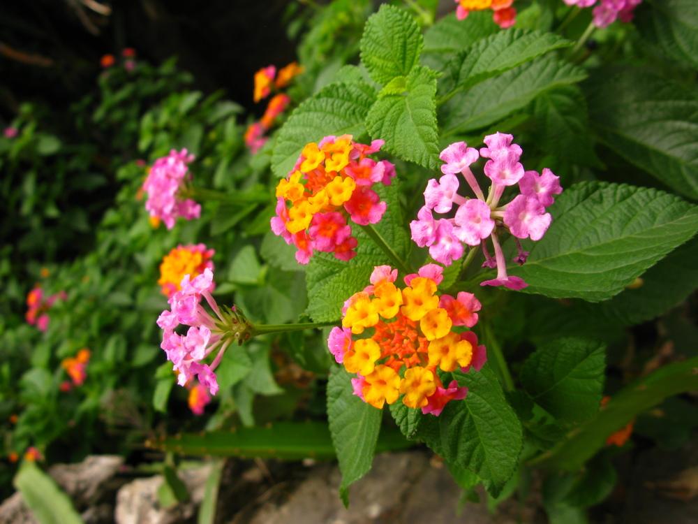 Beautiful Lantana camara flowers around the village.