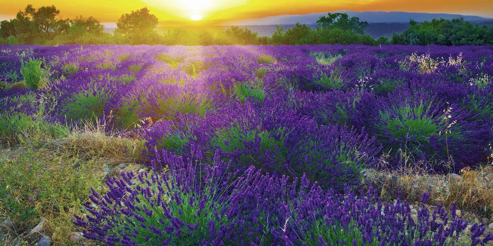 lavender fields sunset_HDR Small.jpg