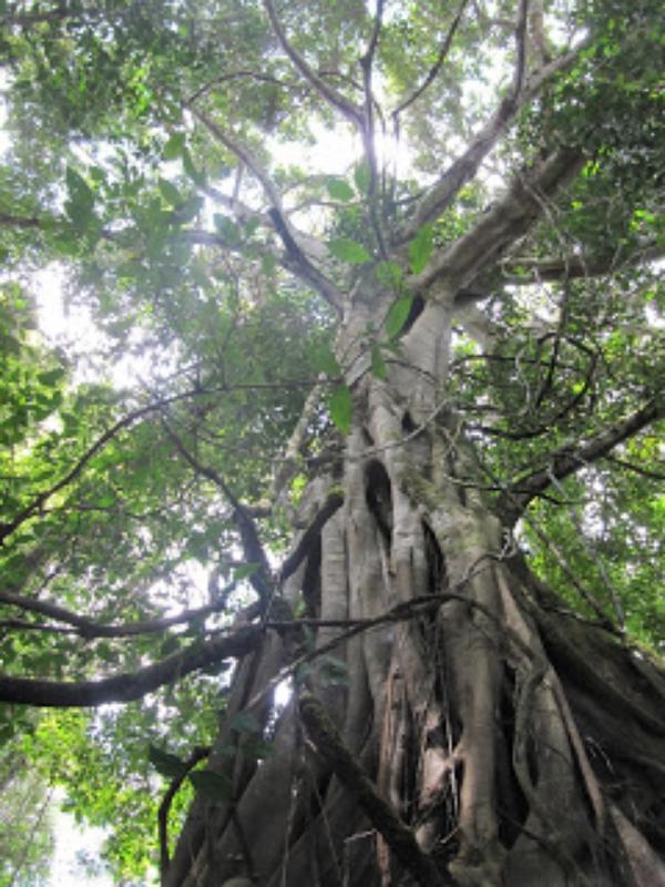 Gaya+Tree.jpg