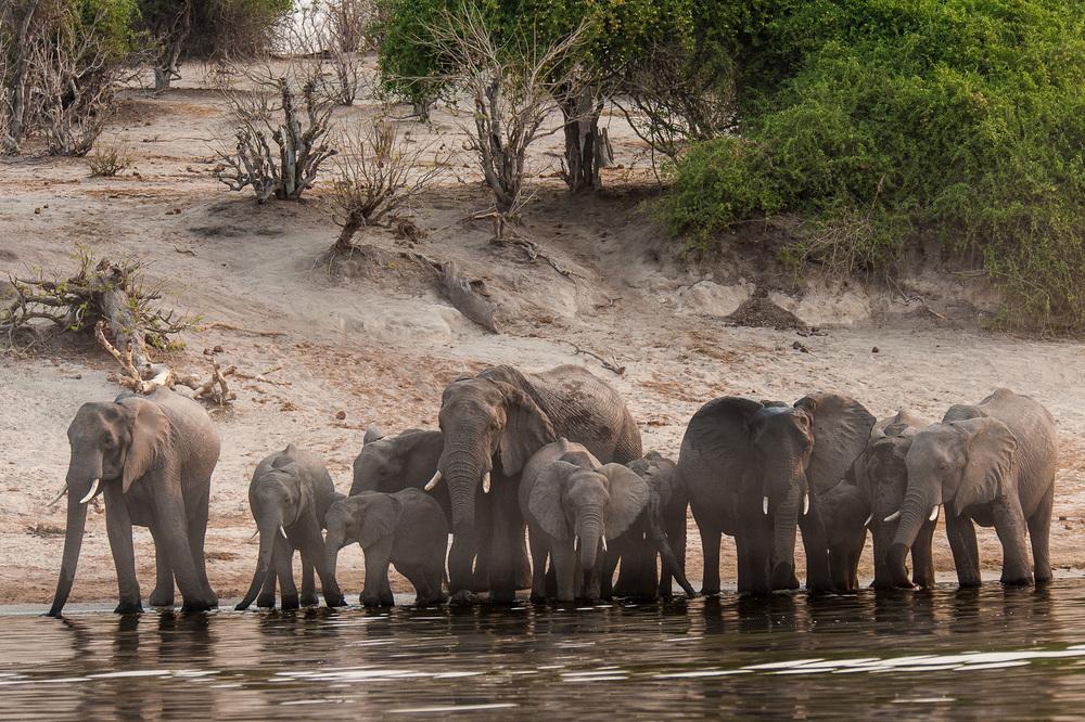 Elephants, Chobe NP, Botswana