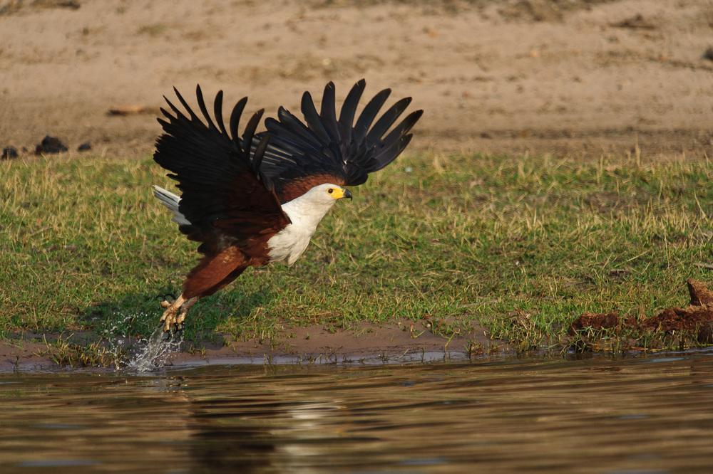 African Eagle, Chobe NP, Botswana