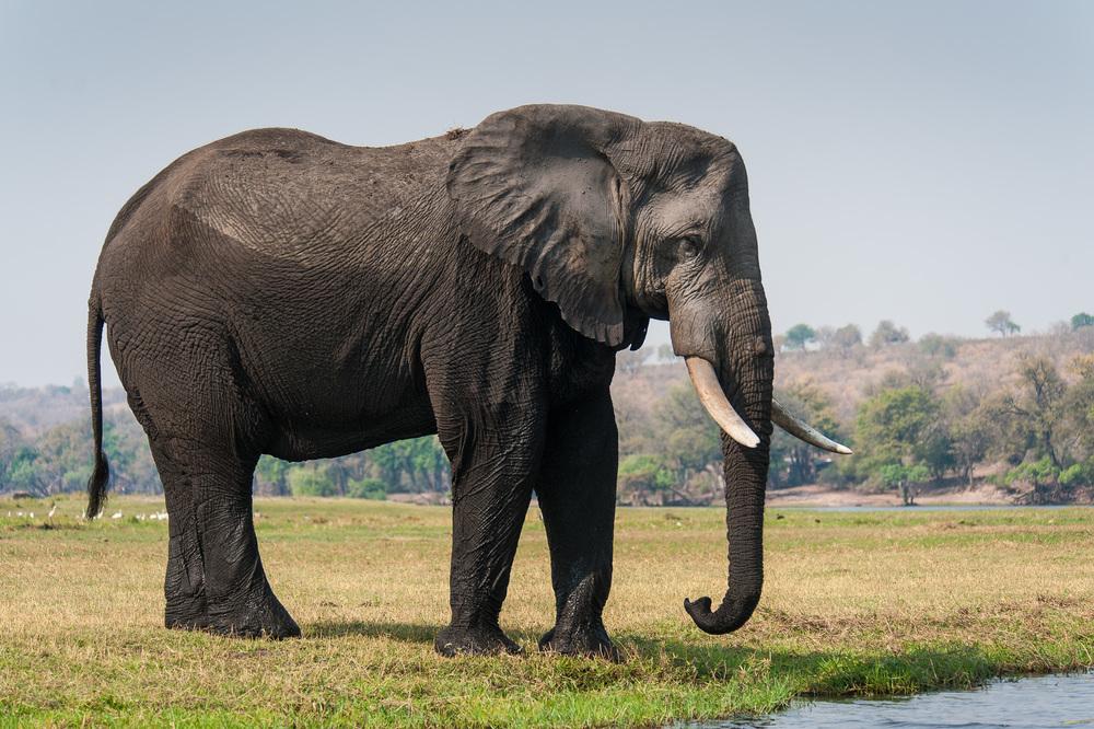 Elephant, Chobe NP, Botswana