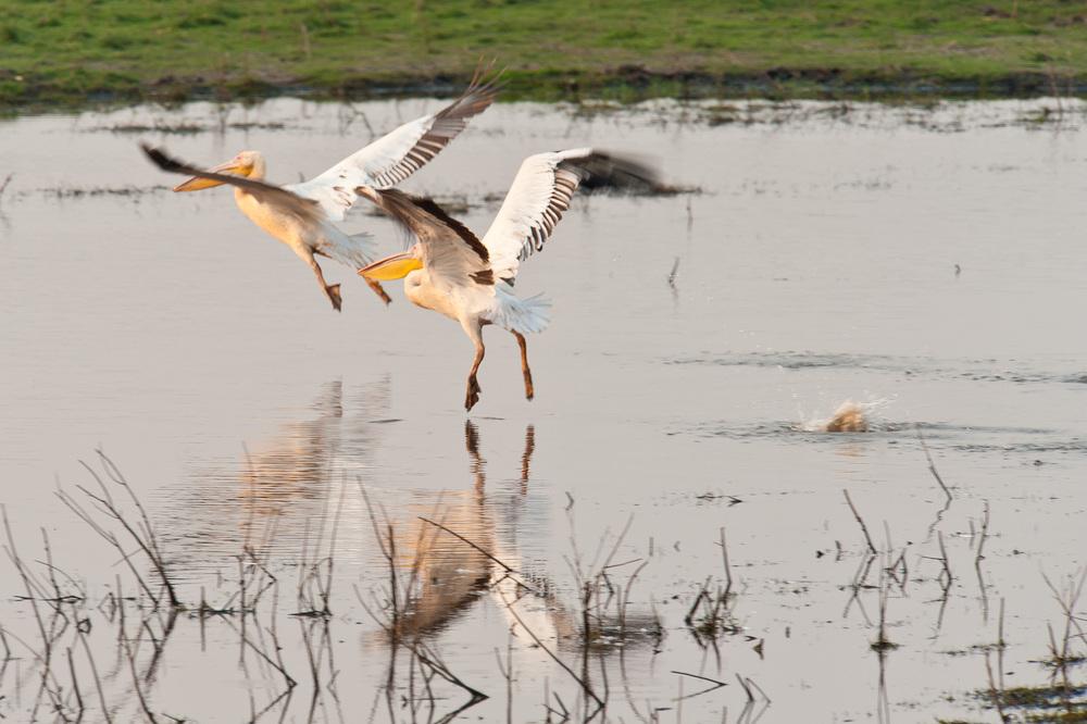 Pelicans, Chobe NP, Botswana