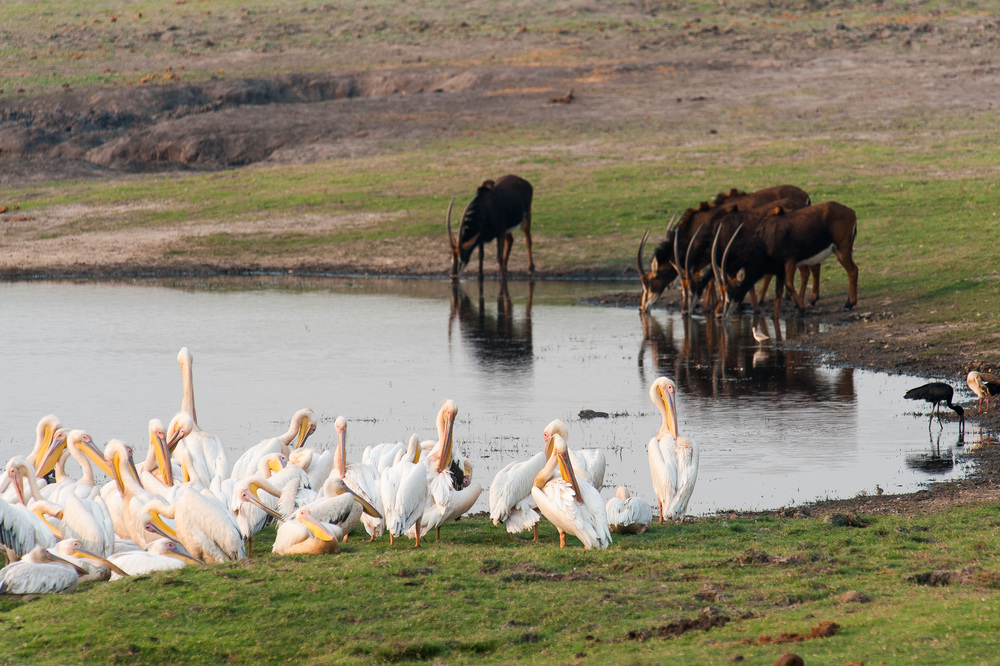 Pelicans and Sable Antelopes, Chobe NP, Botswana