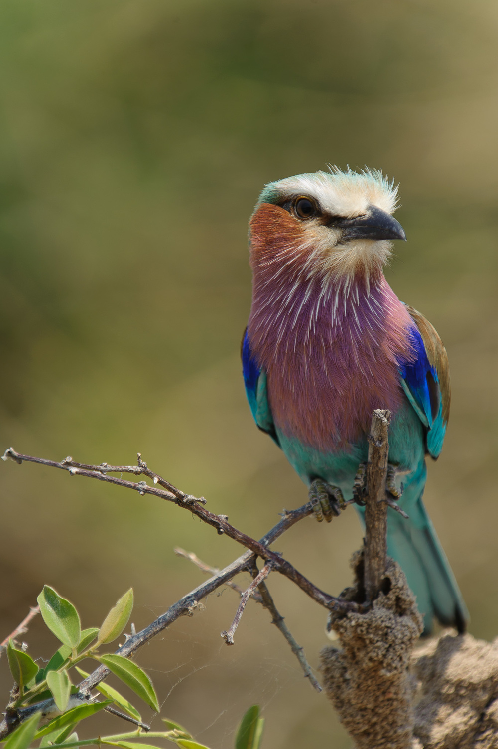 Lilacbreasted Roller, Chobe NP, Botswana