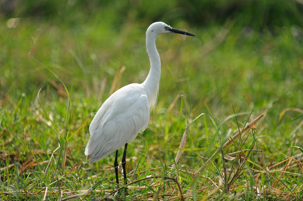 Little Egret, Chobe NP, Botswana