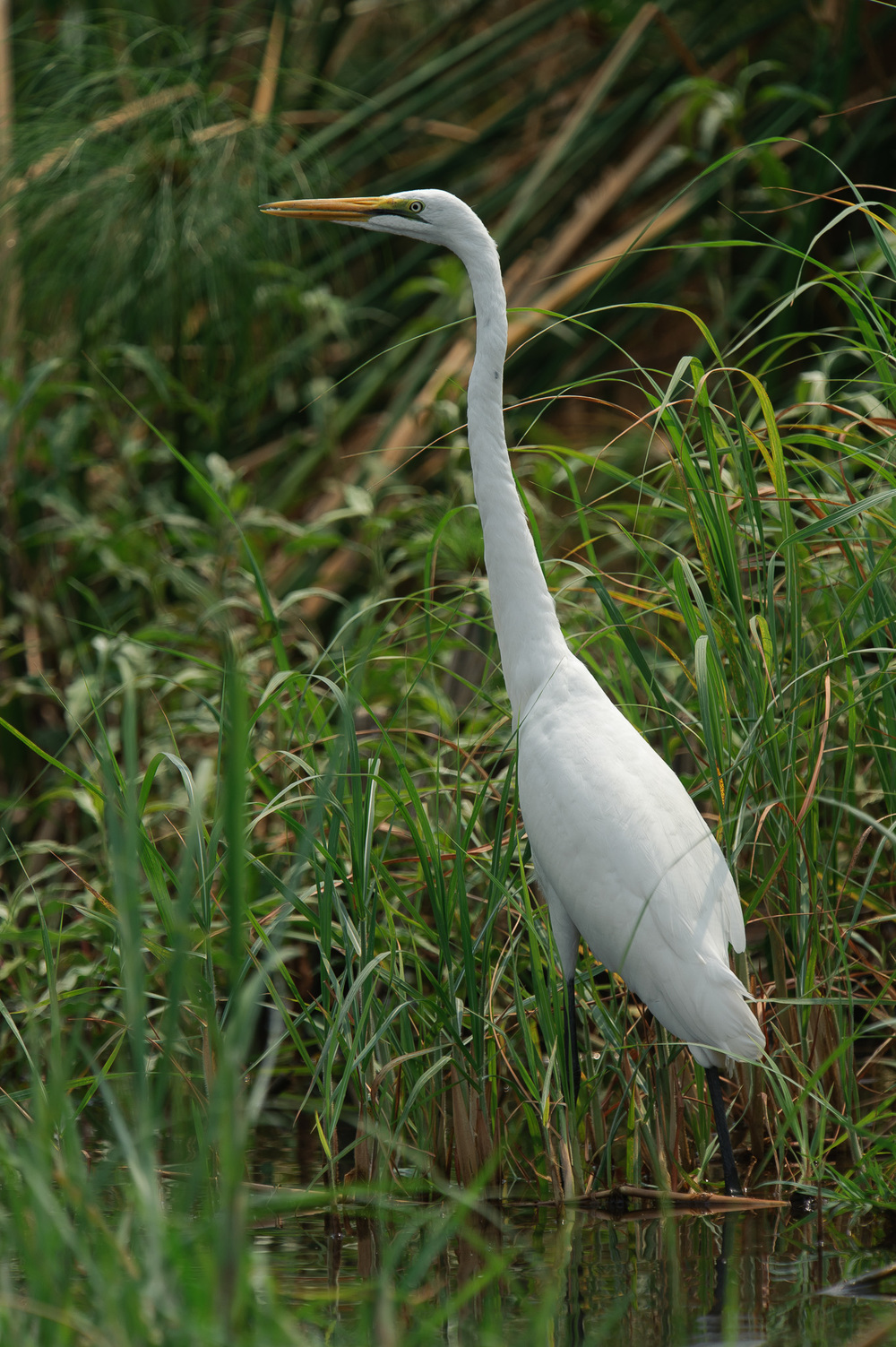 Great White Egret, Zambezi River, Chobe NP, Botswana