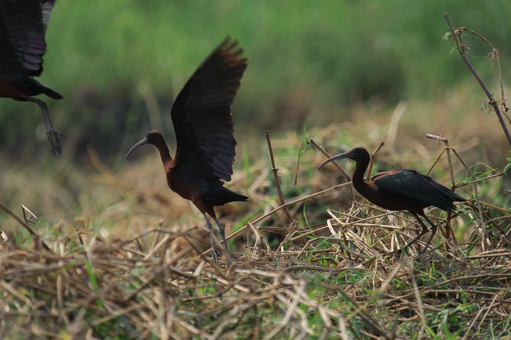 Glossy Ibis, Zambezi River, Chobe NP, Botswana