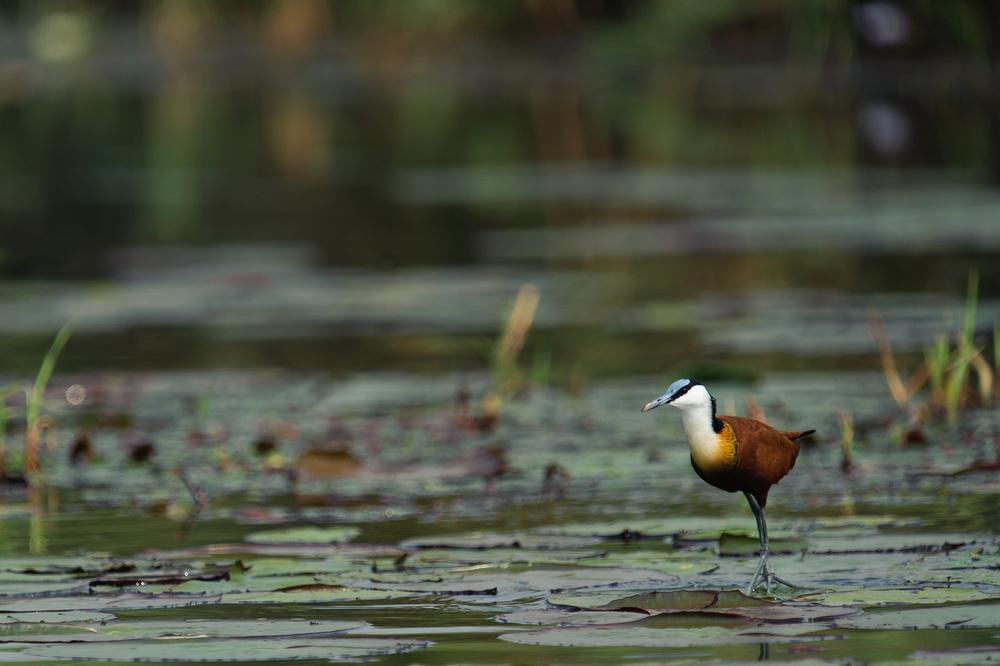 African Jacana, Zambezi River, Chobe NP, Botswana