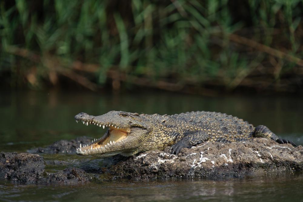 Nile Crocodile, Chobe NP, Botswana