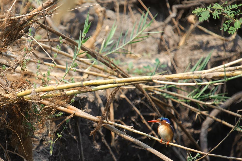 Malachite Kingfisher, Zambezi River, Chobe NP, Botswana
