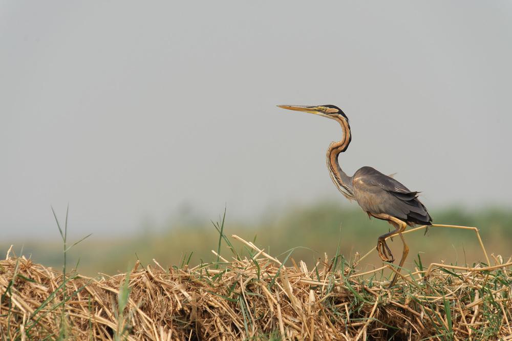 Purple Heron, Zambezi River, Chobe NP, Botswana