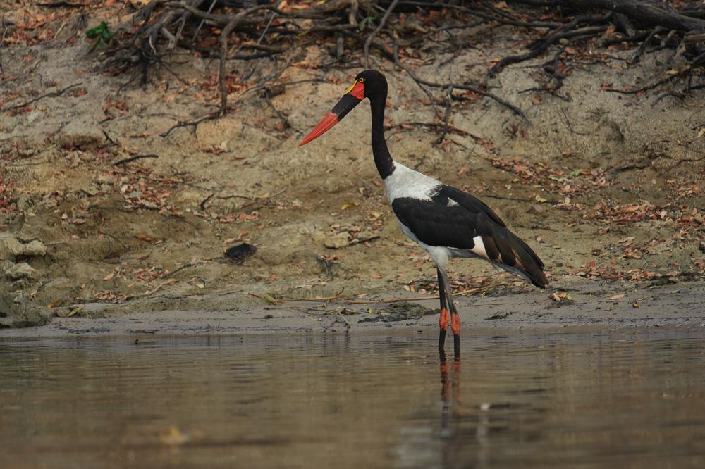 Saddlebilled Stork, Zambezi River, Chobe NP, Botswana