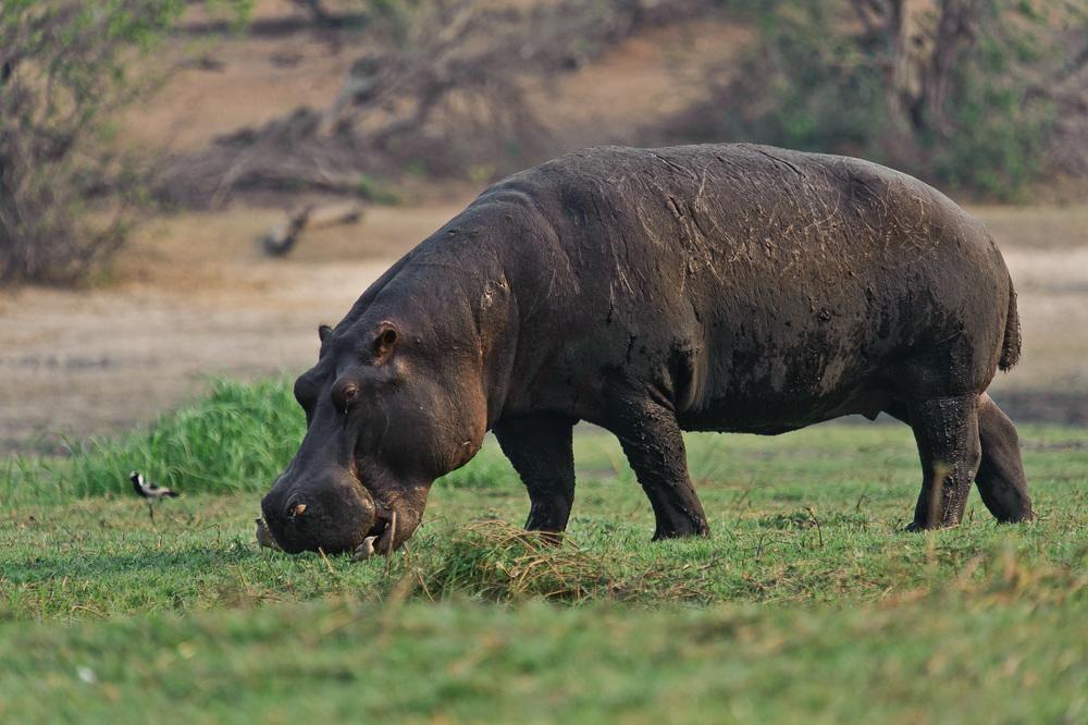 Hippopotamus, Chobe River, Chobe NP, Botswana