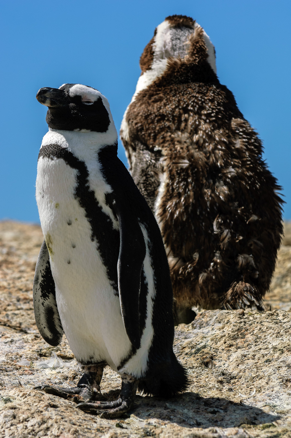 Cape Penguins, Simon's Town, South Africa