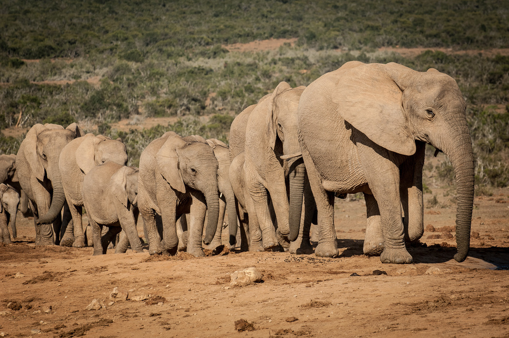 Elephants, Addo Elephant NP, South Africa