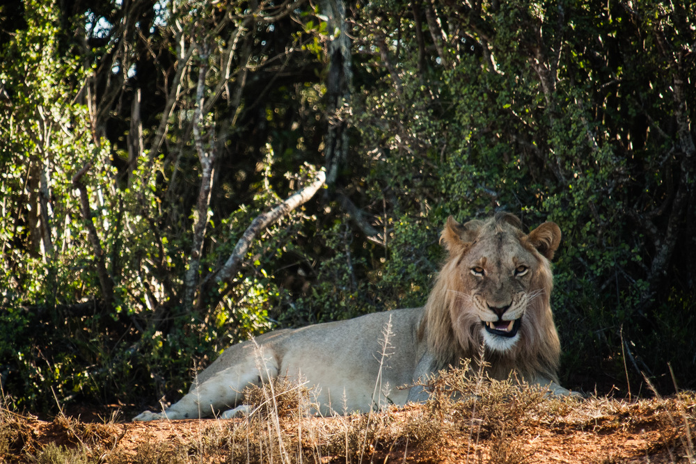 Male Lion, Addo Elephant NP, South Africa