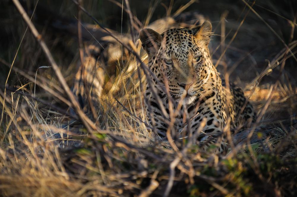 African Leopard, Okonjima, Namibia