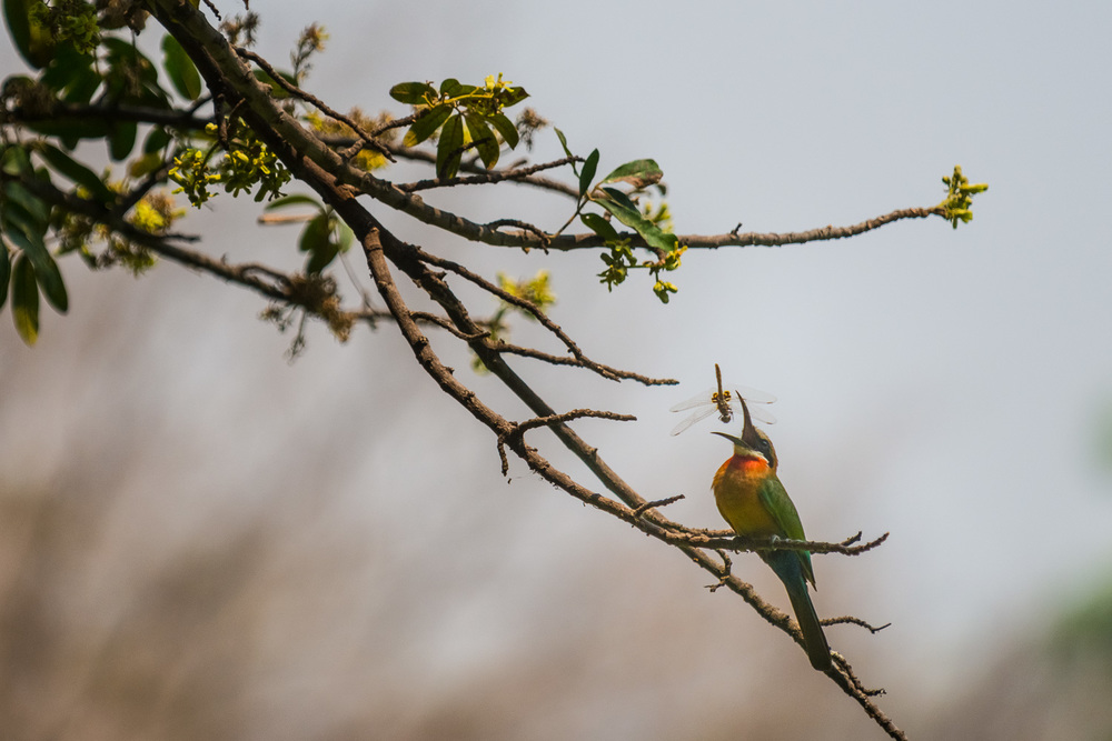 White breasted Bee-eater, Bilimungwe Lodge, South Luangwa, Zambi