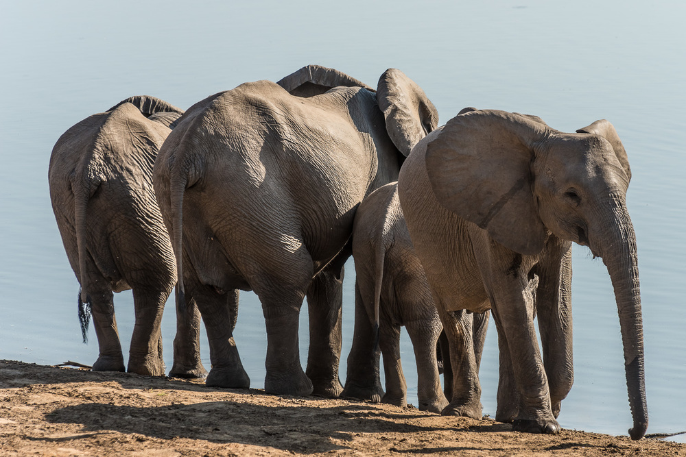 Elephants, Chindeni Lodge, South Luangwa, Zambia