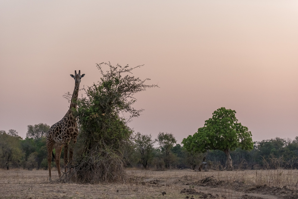 Male Giraffe, Chindeni Lodge, South Luangwa, Zambia