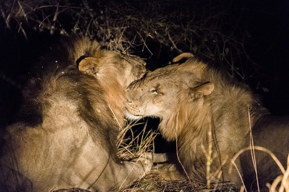 Male Lions, Kapamba Lodge, South Luangwa, Zambia