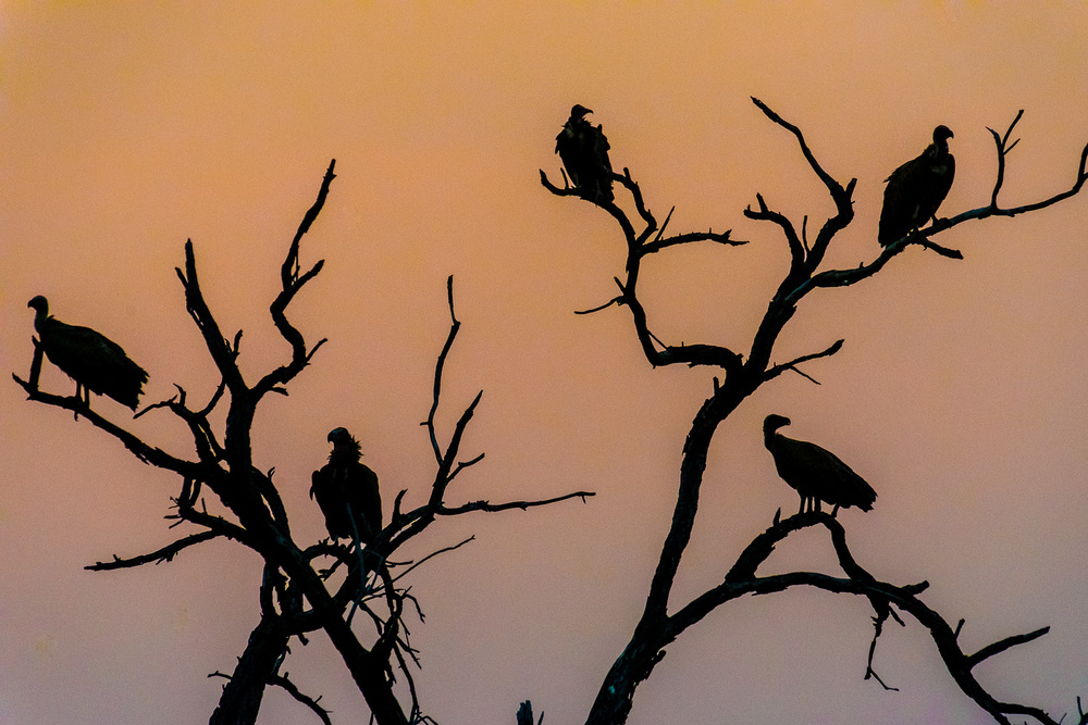 Vultures, Bilimungwe Lodge, South Luangwa, Zambia